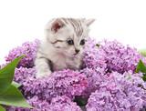 Kitten in lilac. - 159193810