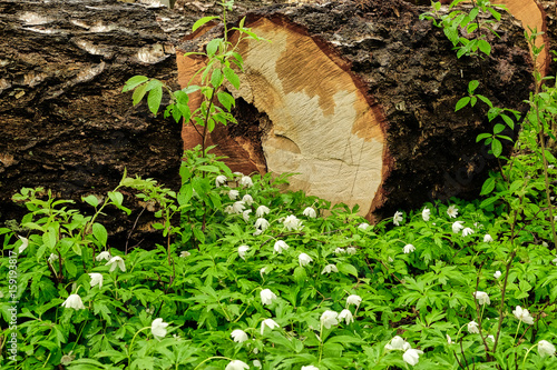 birch logs in the forest