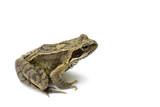 Common English Wild Frog on White Background