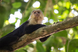 Capuchin monkey relaxing