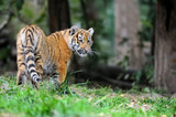 Tiger cub in grass