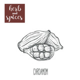 Cardamom hand drawing. Herbs and spices.  - 159228281