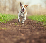 Running dog at summer