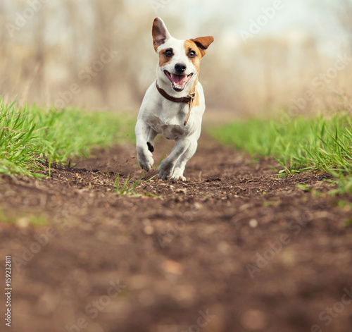 Running dog at summer Poster