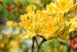 Yellow Rhododendron flowers