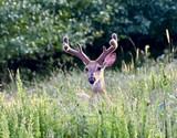 White-tailed buck deer (Odocoileus virginianus) with velvet antlers