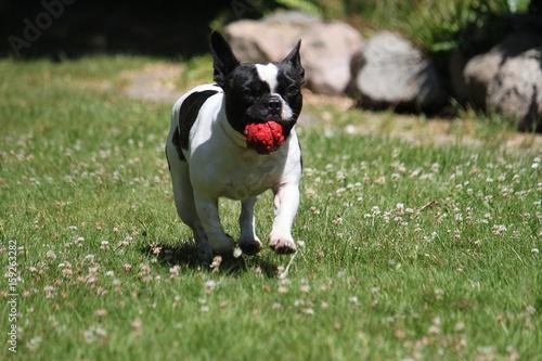 Staande foto Franse bulldog französische bulldogge im garten mit spielzeug