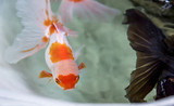 Selective focus on golden fish in well, abstract animal background.