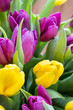 Quadro Purple and yellow tulip bouquet. More tulip on the grey background.