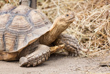 Spur-thighed tortoise in Madagascar
