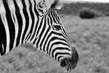 monochrome zebra in the Addo National Park South Africa.