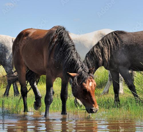 cheval buvant dans l'eau d'un lac Poster