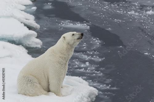 Fotobehang Ijsbeer Auf der Suche nach den Eisbären