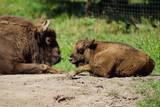 Bison mit Baby