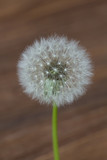 Dandelion flower isolated on wooden blurred background