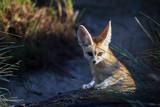 Fennec Fox on a rock