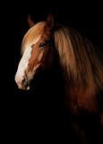 Russian heavy draught horse