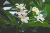 White Plumeria or frangipani in the garden. Plumeria flowers in nature