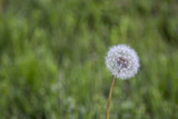 White Dandelion With Background Of Green Grass Out Of Focus