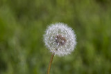 White Dandelion With Green Grass Out Of Focus