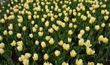 background with beautiful yellow tulips in the spring and summer