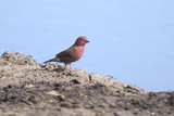 A beautiful red billed fire finch come to drink water at waterhole