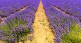 Champ de lavande en Provence