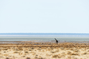 A typical landscape in Etosha. Lone giraffe in boundless african savanna. Namibia, Africa