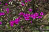 Pink Rhododendron.  Azalea  branch.  Soft  focus.