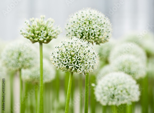 Allium (Mount Everest) © E.O.