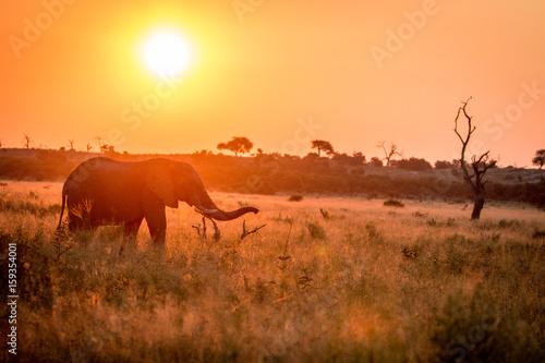 Fotobehang Overige An Elephant walking during the sunset.