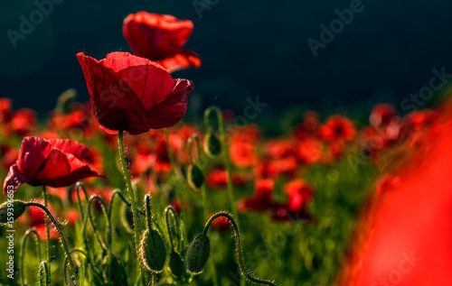 Fotobehang Klaprozen poppy flowers close up in the field
