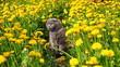 Quadro the cat sits among the dandelions
