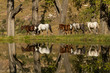 Horses reflecting in water at Balloch Eastern Cape