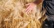 Champ de blé en été par ciel bleu