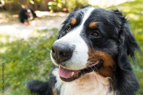 Bernese Mountain Dog in the summer meadow Poster