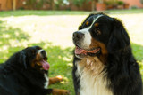 Bernese Mountain Dog in the summer meadow
