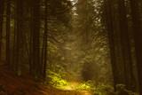 Pine dark autumn forest in fog