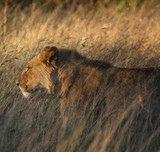 Lion Walking in Long Grass