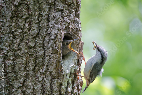 Nuthatch bring caterpillar for feeding hungry nestling Poster