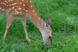 Spotted deer in the forest on green grass