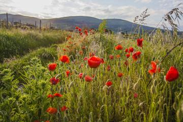 red poppis in green field