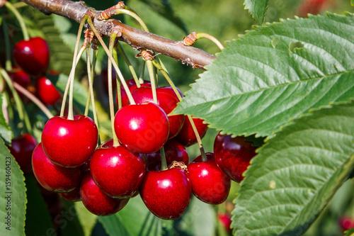 Plexiglas Kersen cherries