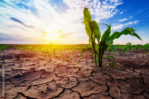 Foto Murales Young corn growing in dry environment