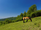 Horse in meadow in Poland