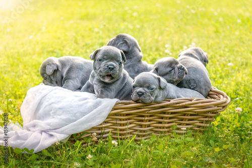 Hundewelpen - Französische Bulldogge Poster
