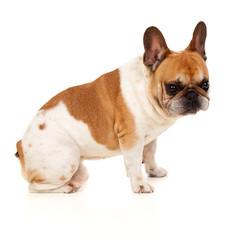 Portrait in Studio of a cute bulldog