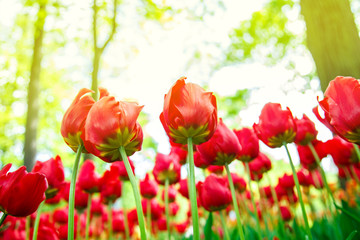 Amazing blooming tulips in the spring city park.