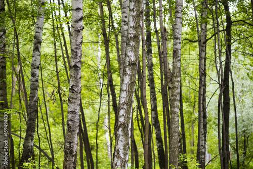 Aluminium Berkenbos Old birch forest