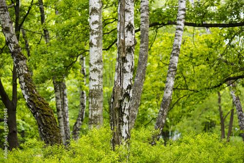 Old birch forest
